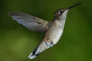 Porównanie skrzydeł kolibrów i wirników microcopterów