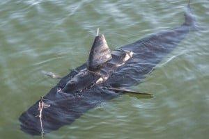 GhostSwimmer pływa jak prawdziwy rekin